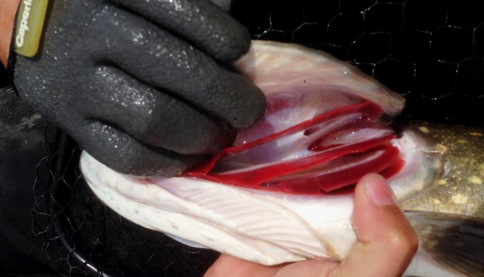 saisie du poisson par les ouies