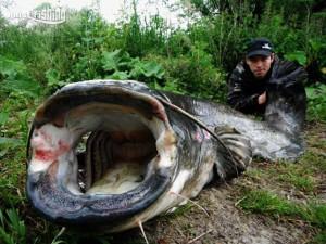silure-raise-fishing
